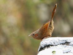 Sylviidae photos - Google Search