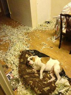"""Naughty #Bulldog: """"it wasn't me..."""""""