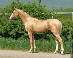 akhalteke horse turmenistan - Yahoo Search Results Yahoo Image Search Results