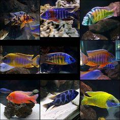 Some of my favorite residents among my tanks. #africancichlids #fish #aulonocara #haps #peacocks #aquarium #cichlids #fishofinsta