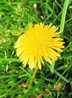 """""""They say that the buds of young dandelions have a flavor similar to mushrooms when they are sauteed in butter."""" Only try dandelions on yards NOT chemically treated. Edible Flowers, Love Is Free, Healthier You, Outdoor Plants, Mothers Love, Dream Garden, Pretty Flowers, Farmers Market, Korn"""
