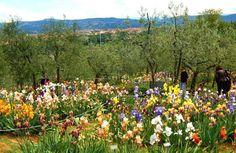 Quando il Giardino dell'Iris riapre le porte, a #Firenze è ufficialmente arrivata la primavera. Dal 25 aprile al 20 maggio, torna visitabile uno spettacolo ai piedi di Piazzale Michelangelo: http://bit.ly/1QZQ5WA #CasaRovai ti aspetta! www.casarovai.com