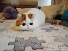 Snoopy cat | The cutest cat in the world