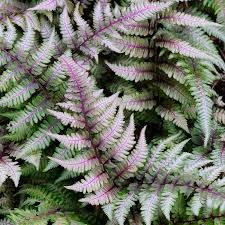 Athyrium nipponicum 'Red Beauty' - Google Zoeken Japanese Fern, Japanese Painted Fern, Japanese Garden Plants, Japanese Gardens, Ferns Garden, Shade Garden Plants, Plants For Shade, Shaded Garden, Moon Garden