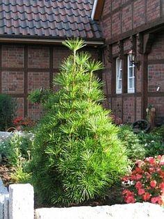 Sciadopitys verticillata - Japanese umbrella pine