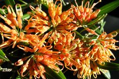 This showy Grevillea is a very popular shrub due to its waterwise properties. Apricot Glow has dense, deep-green foliage and displays a profusion of spider-like glowing apricot flowers produced for an extended period from spring through to late winter. Australian Native Garden, Australian Plants, Types Of Soil, Types Of Plants, Native Australians, How To Attract Birds, Water Wise, Types Of Flowers, Native Plants
