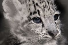 A two-month-old snow leopard, during one of its first outings on August 2, 2017 at the zoo in Mulhouse, France. Three Snow Leopard cubs, Kouraï, Tiksi and Zima were recently born to mother Tawa at the zoo.
