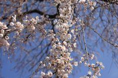 准胝観世音の桜 4/9(満開)