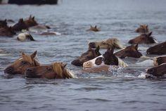 Wild Chincoteague Ponies Swim, Medford Taylor