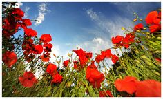 i love poppies. must find a painting or photograph for the wall.