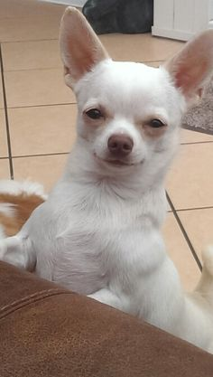 Join jamie on facebook...jamie a little white chihuahua