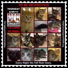 "TO BE DESTROYED 6/29/17 - - Info  Please share View tonight's list here: http://nyccats.urgentpodr.org/tbd-cats-page/. The shelter closes at 8pm. Go to the ACC website( http:/www.nycacc.org/PublicAtRisk.htm) ASAP to adopt a PUBLIC LIST cat (noted with a ""P"" on their profile) and/or … CLICK HERE FOR ADDITIONAL…Please…Please...-  Click for info & Current Status: http://nyccats.urgentpodr.org/to-be-destroyed-32017/"