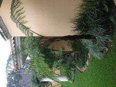 Ciriacos, gigant fern, at my garden