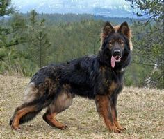 Black Sable German Shepherd | Photo: www.candlehillshepherds.com #germanshepherd