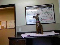 *SHASTA - ID#A710848    Shelter staff named me SHASTA.    I am a female, brown and white Doberman Pinscher mix.    The shelter staff think I am about 4 months old.    I have been at the shelter since Apr 18, 2013.