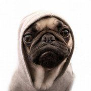 thug pug// I think pugs are the cutest/ugliest things. Pugs make me smile Cute Puppies, Cute Dogs, Dogs And Puppies, Doggies, Pointer Puppies, Pug Love, I Love Dogs, Cute Baby Animals, Funny Animals