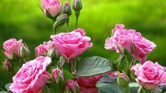 AsRosassão consideradas rainhas entre todas as flores. Elas conservam um perfume agradável, podem ter diversas cores, tonalidades e formatos, desde vermelhas, brancas, amarelas ou rosas, são magníficas e sedutoras.  O nome vem do latim rosa e do grego rhodon , de origem asiática, elas estão entre as flores cultivadas, mais antigas do mundo. Há …