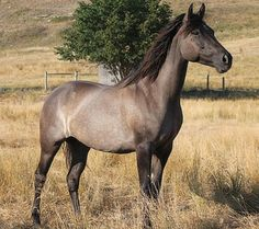 Grulla Morgan mare, Moonlight Mist.