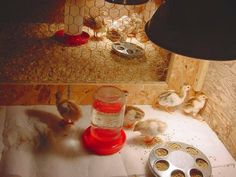Brooder and guinea keets