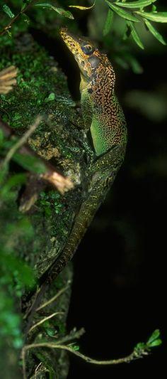 Anolis vermiculatus