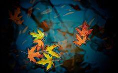 Beautiful Autumn Leaves On Water | 火红枫叶图片(张)
