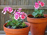 Přezimování přenosných rostlin: pelargónie čili muškáty Planter Pots