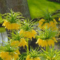 Fritillaria imperialis 'Maxima Lutea' - Die gelbe Kaiserkrone: die Majestät der Frühlingsblüher. Pflanzzeit ist im Herbst - online erhältlich bei www.fluwel.de