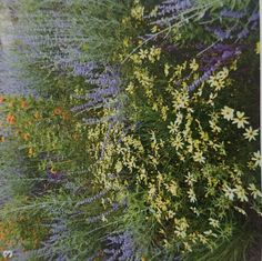 Coreopsis verticillata moonbeam en perovskia atriplicifolia