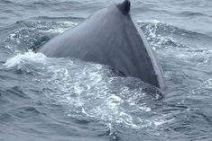 Monterey on osa 17-Mile-Driveä, joka on Kalifornian upea maisemareitti. Montereystä pääsee myös mahtaville valassafareille katsomaan delfiinejä ja valaita! // Monterey is part of the 17-Mile-Drive scenic route in California. You can also go for an amazing whale watching trip in Monterey to see dolphins and whales! Whale Watching, Clint Eastwood, San Francisco, Waves, California, Usa, Lifestyle, Animals, Outdoor