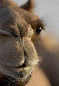 Dromedary Camel Baby by Andrzej Bochenski. Camel Close up noses Nature Animals, Animals And Pets, Baby Animals, Funny Animals, Cute Animals, Camelo Bactriano, Beautiful Creatures, Animals Beautiful, Beautiful Eyes
