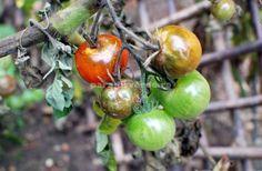 Cum se previne şi cum se combate mana roşiilor | Paradis Verde Salvia, Pest Control, Vegetable Garden, Ale, Fruit, Vegetables, Gardening, Tips, Crafts