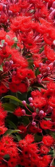 Red Flowering Gum Tree (always a favourite, so would make good subject matter for painting)
