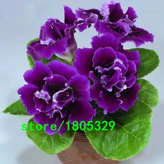 Cheap home garden accessories, Buy Quality home harvest garden directly from China home garden Suppliers: Hot Sale Rare Purple Gloxinia Seeds Perennial Flowering Plants Sinningia Speciosa Bonsai Balcony Flower DIY Home Garden 100 PCS Balcony Flowers, Diy Flowers, Flower Diy, Perennial Flowering Plants, Perennials, Planting Seeds, Planting Flowers, Bonsai, Seed Germination