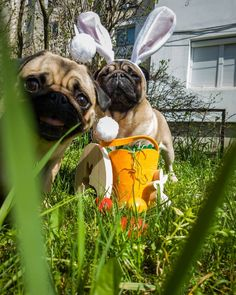 Bubble's first photobomb this year 📸😲  #mauricethepug #bubble #bubblethepug #queenb #photobomb #eater #spring #funny #romania #tirgumures #puglife #pugchat #pugstory #pug #mops #dog #puppy