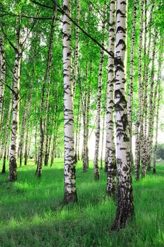Birch trees in a forest. Birch trees in a summer forest , Forest Wallpaper, Nature Wallpaper, Tree Photography, Landscape Photography, Tree Forest, Birch Forest, Tree Tree, Birch Tree Art, Tree Wall Murals
