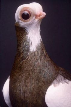 Pigeon by Stephen Green-Armytage Kinds Of Birds, Love Birds, Beautiful Birds, Animals Beautiful, Pigeon Breeds, Funny Animals, Cute Animals, Dove Pigeon, Interesting Animals