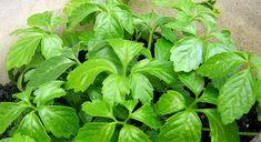 Pěstování ženšenu pětilistého | Prima nápady Herbs, Vegetables, Health, Health Care, Herb, Vegetable Recipes, Veggies, Salud, Medicinal Plants
