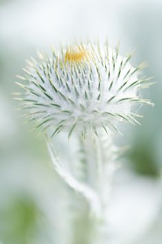 Onopordum acanthium - Scottish or Cotton Thistle