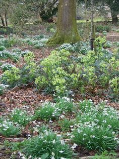 Green Hellebore (Helleborus viridis), Damerham