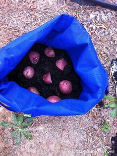 Use Reusable Grocery Bags to Grow Potatoes :: Hometalk