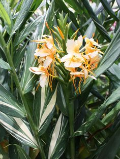 Creamsicle Butterfly Ginger Plant (hedychium sp) - All About Gardens Hosta Plants, Tropical Flower Plants, Colorful Plants, Plant Sale, Planting Flowers, Ginger Plant, Tropical Garden, Trees To Plant, Ginger Plant Flower