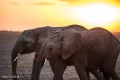 Two young calves, against an Amboseli sunset. Stunning!