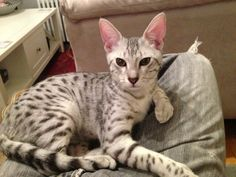 Zena is a Silver Egyptian Mau...gorgeous!