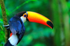Colorful cute Toucan tropical bird, Brazilian Amazon – blurred green background - Getty Images