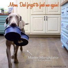 The constant struggle of being a #Weimaraner. Britta tries to fool Mom with empty food bowl. #JusticeForGeist