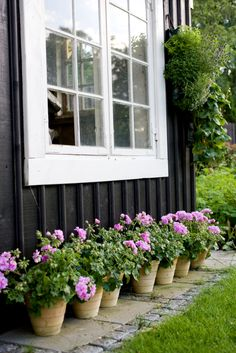 Pots of Pink Geraniums.