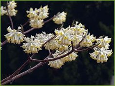 edgeworthia chrysantha flowers in Ga winter