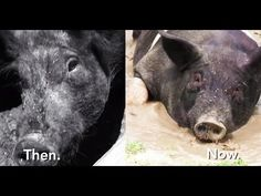 From Pigsty to Hog Heaven | PETA's Blog | PETA