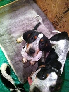 may with her brother january -  bluetick coonhound puppies. <3 them!