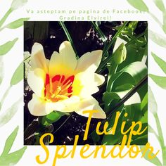 Spring tulips on Facebook Gradina Elvirei
